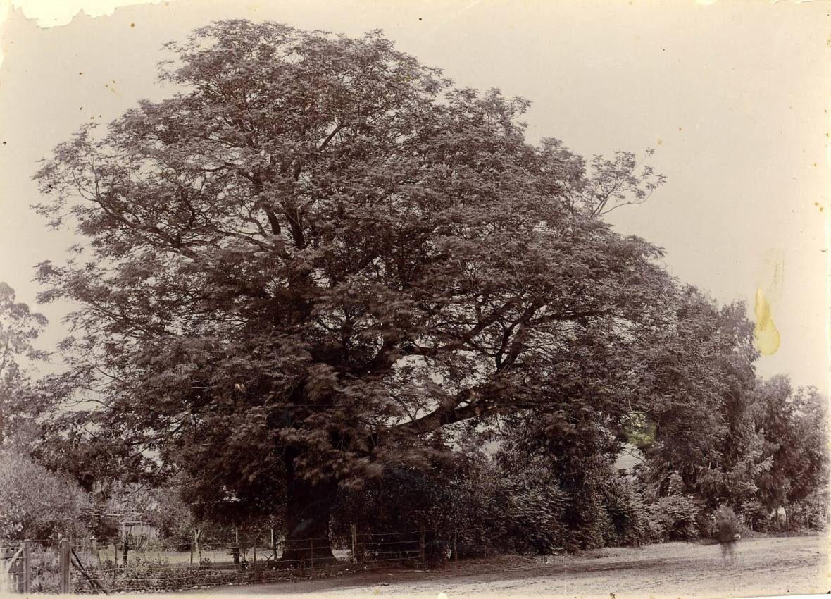 Seringboom, Rustenburg.jpg